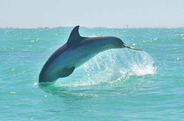 Dolphin in Key West