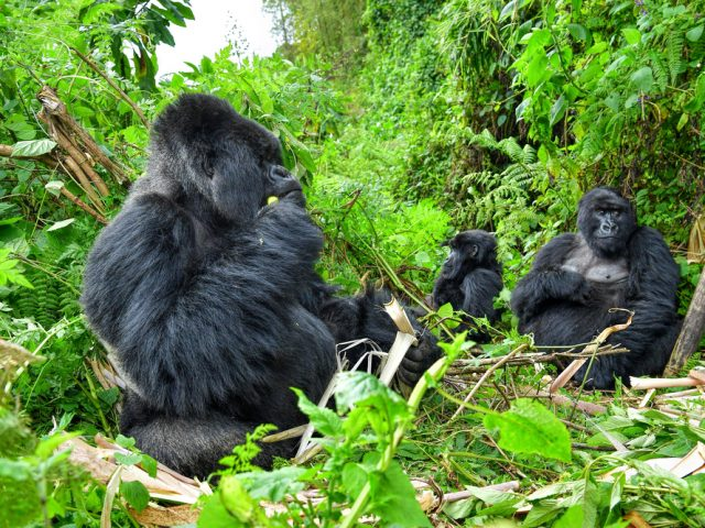 Family of Gorilla Mountain with a Silverback