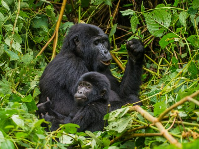 Female mountain gorilla with a baby